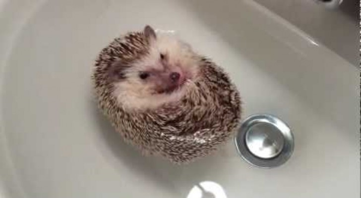 Bath time for a cute hedgehog