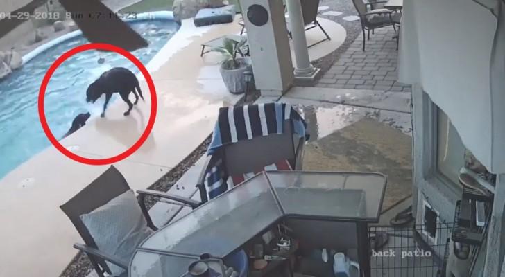 Ein Hund fällt in den Pool und droht zu ertrinken: Das Verhalten seines Freundes verblüffte selbst die Besitzer