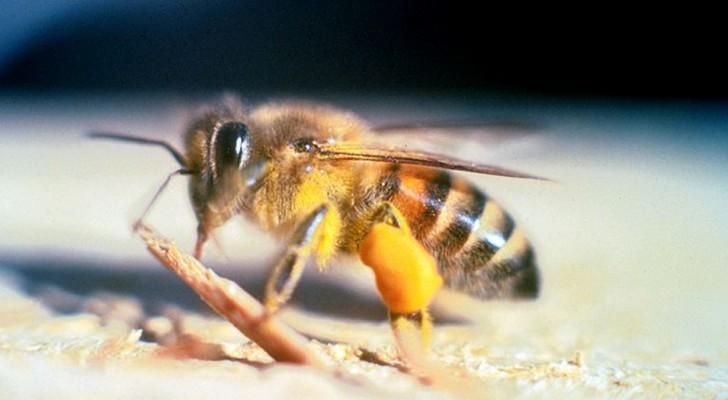 Voor het eerst wordt een bijensoort op de lijst van soorten gezet die worden bedreigd met uitsterven