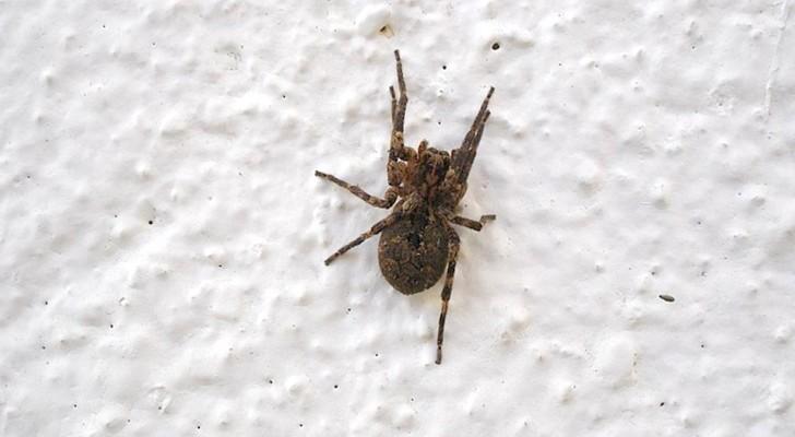 Eine Spinne im Haus? Warum du sie NIEMALS töten solltest, auch wenn du Angst hast
