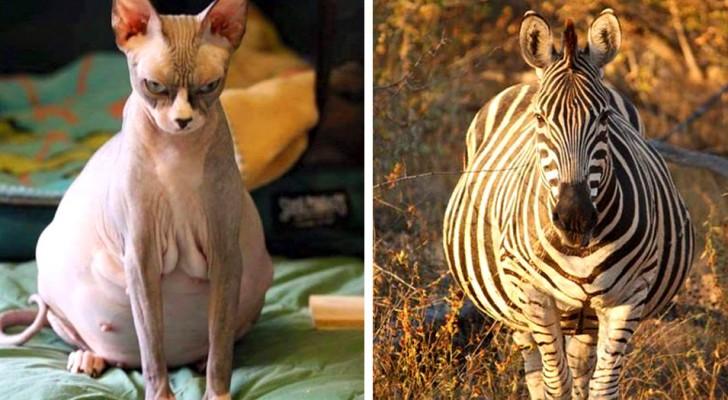 20 future mamme del regno animale che mostrano con fierezza il loro pancione