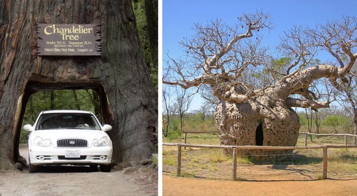De oudste, de breedste, of de eenzaamste: 12 prachtige bomen die een wereldrecord in de takken hebben