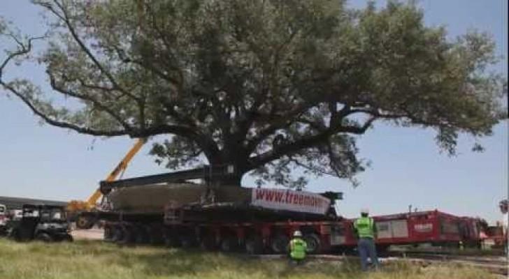 Spostare un albero di 150 anni pesante 360.000kg