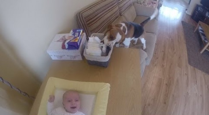 A Beagle helps mum to change the nappy