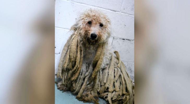 Een hond wordt naar het asiel gebracht bedekt met zware rasta: na het scheren lijkt hij er niet meer op!