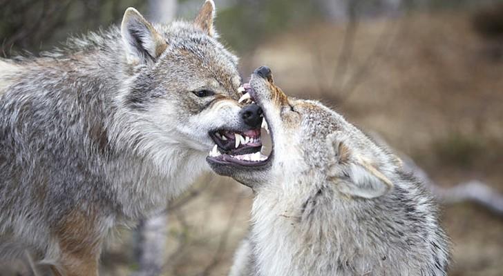 Les loups savent faire la paix après une dispute. Pas les chiens à cause de leur proximité à l'homme