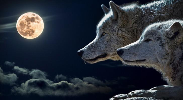 Het verhaal over de twee wolven zal van invloed zijn over hoe je 's morgens in de spiegel kijkt