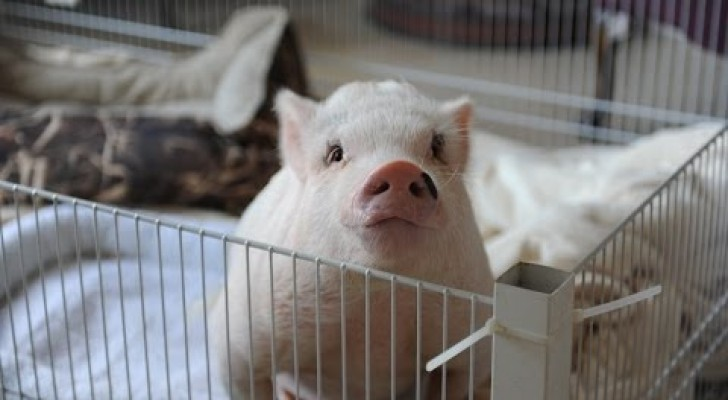 The moving story of the piglet born with two legs