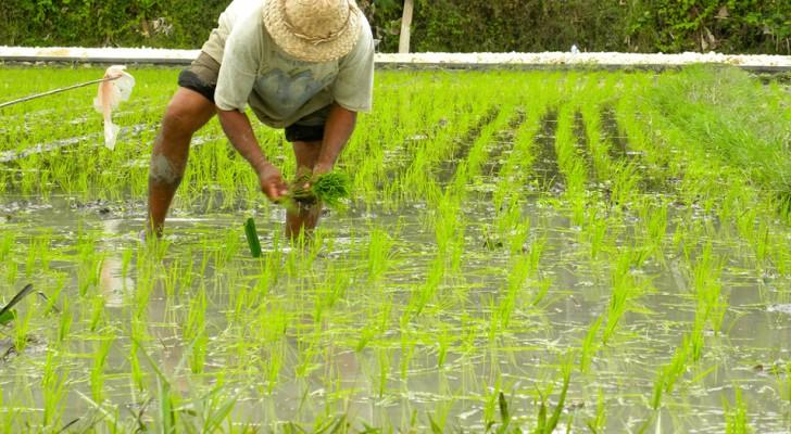 Gli scienziati ritengono di aver trovato un riso mutante che neutralizza il virus dell'HIV