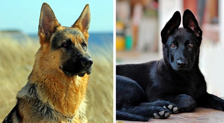 Queste 14 splendide foto ci dimostrano che il pastore tedesco è uno dei cani più belli al mondo