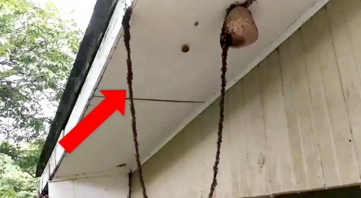 Ants build a living bridge to attack a wasp's nest and it is a true demonstration of clever ingenuity