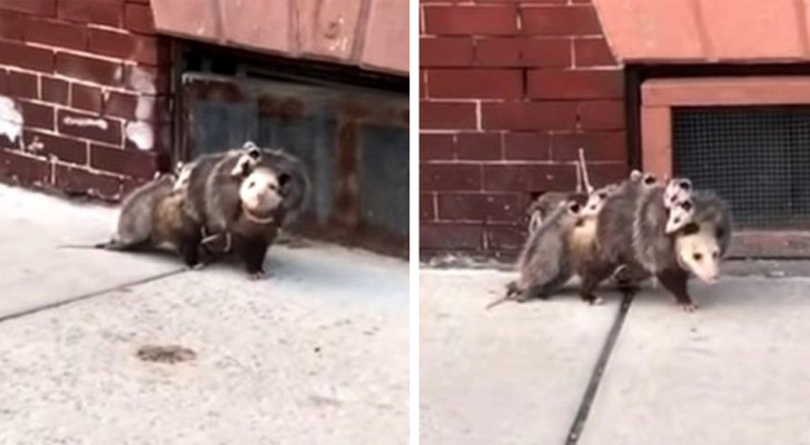The video of this opossum shows that a mother's love is bigger than anything else in the world!