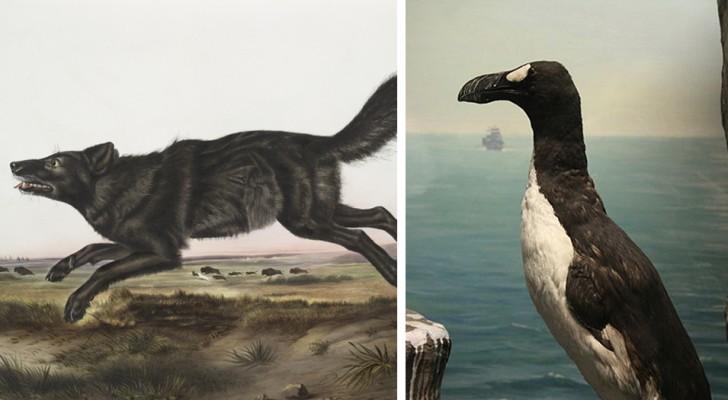 13 diersoorten die de eerste Amerikaanse kolonisten wel hebben gezien... maar die voor ons slechts in biologieboeken te zien zullen zijn