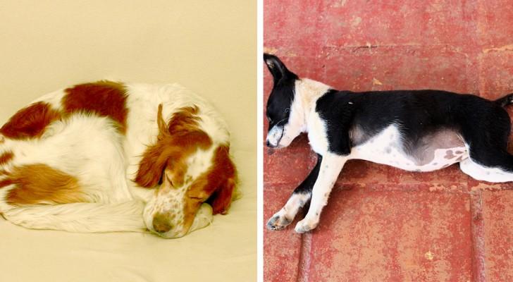 De positie waarin jouw hond slaapt onthult veel over zijn gemoedstoestand: ontdek hoe hij zich voelt