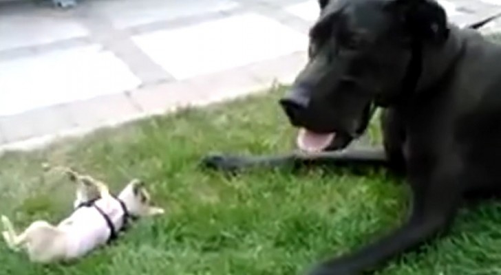 L'alano e il Chihuahua si ritrovano faccia a faccia: il video dell'incontro vi farà restare con il fiato sospeso