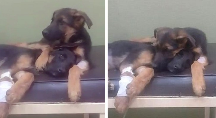 A puppy absolutely refuses to leave his beloved sister at the veterinarian clinic ...