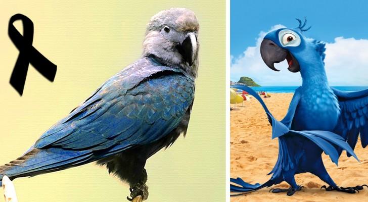 Addio all'Ara Spix: si è estinto il famoso pappagallo blu reso famoso dal film d'animazione