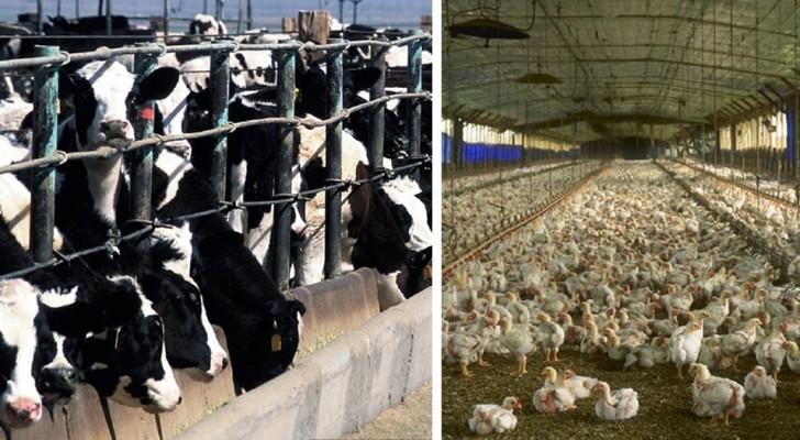 I maggiori responsabili del riscaldamento globale? Sono i giganti dell'industria della carne e del latte