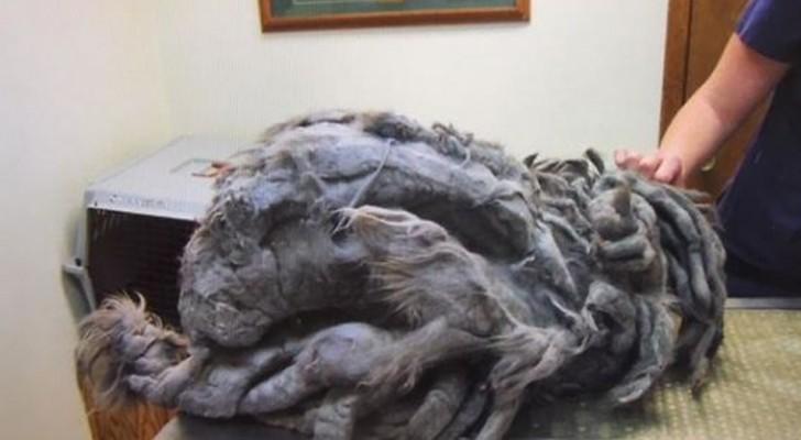 Un tas de fourrure est abandonné devant un refuge : après la tonte, il révèle sa beauté.