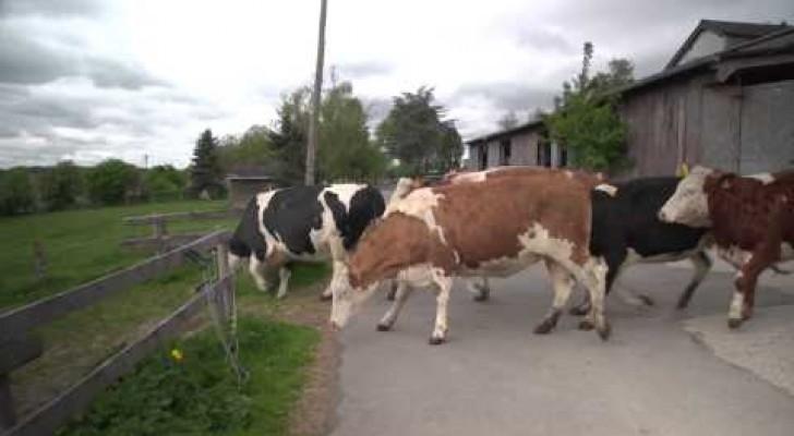 Le bonheur est dans le pré ... pour les vaches