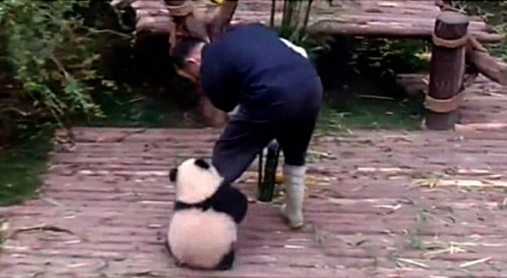 Voila pourquoi être le gardien de bébés panda est le plus beau métier du monde.