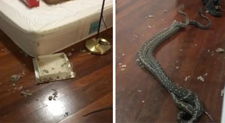 Una donna trova nella sua camera da letto due serpenti che combattono: la scena è degna di un incubo