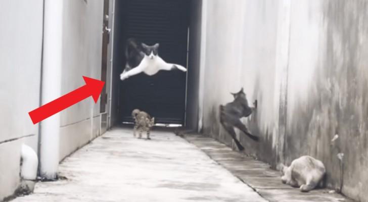 Admirez les mouvements spectaculaires de ninja avec lesquels ce chat réussit à échapper à trois autres chats.