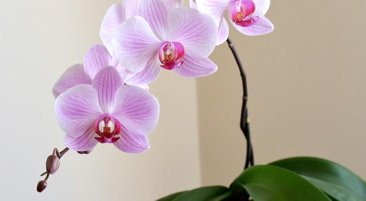 Orkidéer renar luften i hemmet och för med sig harmoni, här är alla hemligheter som den här växten döljer