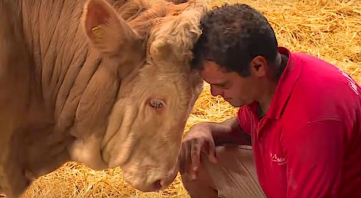 De stier heeft zijn leven lang in een kooi gezeten: zijn reactie wanneer hij wordt vrijgelaten, is aangrijpend