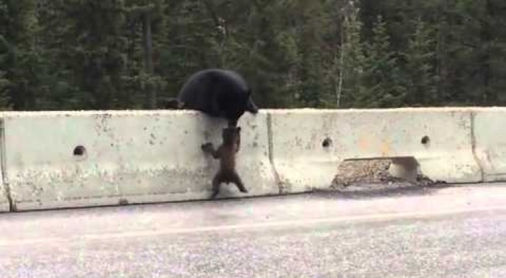 Mother bear saves  baby bear