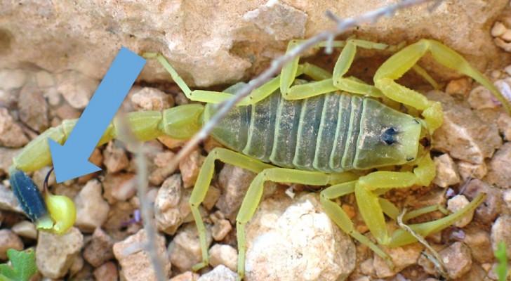 Skorpiongift ist die teuerste Flüssigkeit der Welt, 39 Millionen für weniger als 4 Liter: Deshalb ist es so teuer.