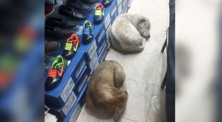 Un negozio di scarpe ha aperto le porte ai cani randagi per proteggerli dal freddo e dalla pioggia