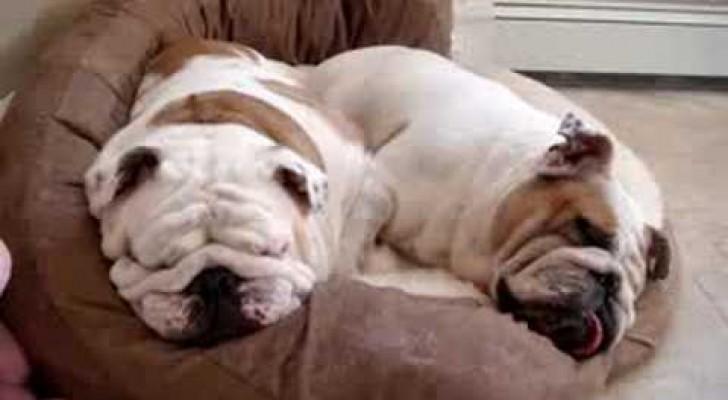Deux bouledogues au sommeil profond!