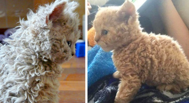 Curly cats are different from all the cats you have seen so far --- Just take a look at their fur to understand why!