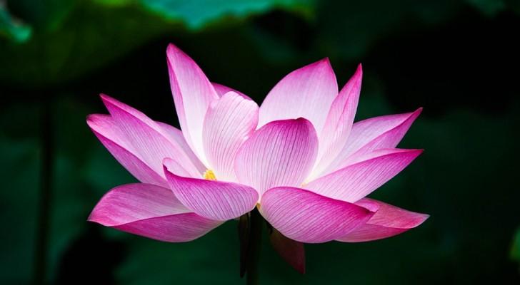 Las enseñanzas de la flor de loto que nos ayuda a superar los momentos dificiles