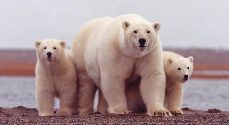 Amerikaanse zoölogen hebben een nieuwe drieduizend beren sterke populatie poolberen ontdekt die allemaal hartstikke gezond zijn