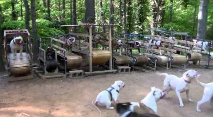 Dogs running on treadmill