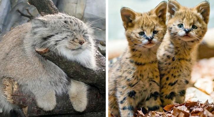 Le 18 specie feline più rare e curiose del mondo