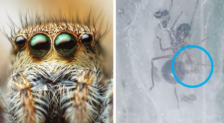 Cette curieuse araignée sauteuse