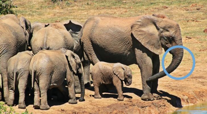 La natura passa al contrattacco: gli elefanti si stanno evolvendo per perdere le zanne e salvarsi dai cacciatori
