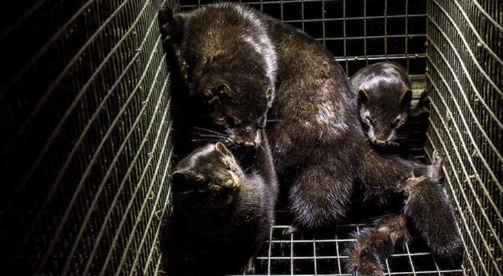 A Modena ha chiuso un allevamento di visoni destinati alla produzione di pellicce