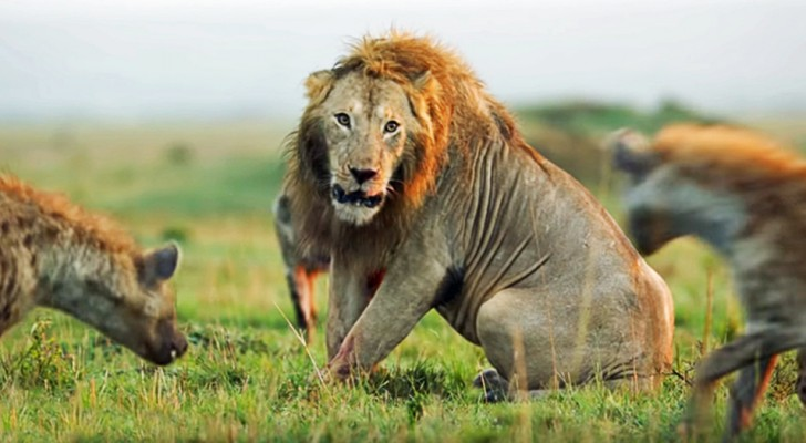 Le fascinant affrontement entre le vieux lion et une meute de hyènes... avec un résultat inattendu