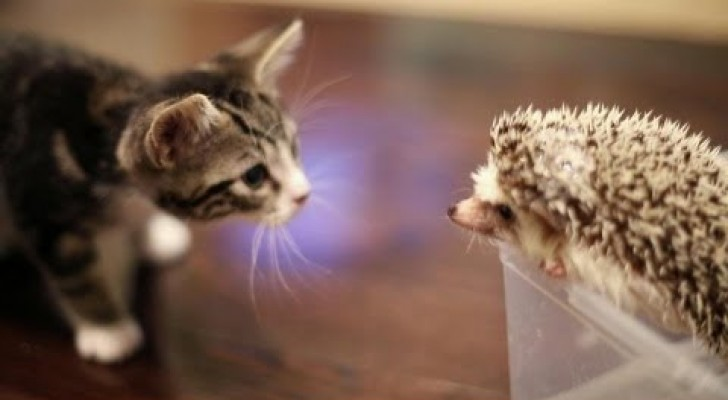 Kitten and hedgehog meet for the first time