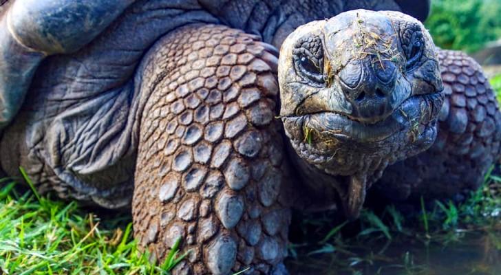 Zum ersten Mal seit 100 Jahren wurden Galapagos Riesenschildkrötenjungen gefunden