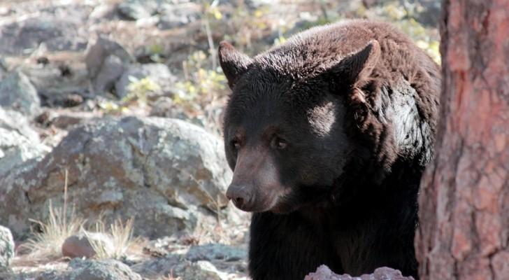 Un bambino di 3 anni si è perso 2 giorni nel bosco: sostiene che un orso gli abbia salvato la vita