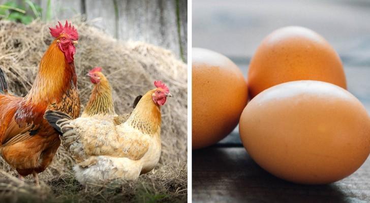 Creare polli OGM che depongono uova contenenti farmaci anti-cancro: tutti i dettagli di questa nuova idea