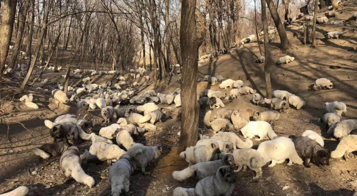 En Chine, 174 renards blancs ont été sauvés de la production de fourrure : ils vivent maintenant dans un refuge bouddhiste