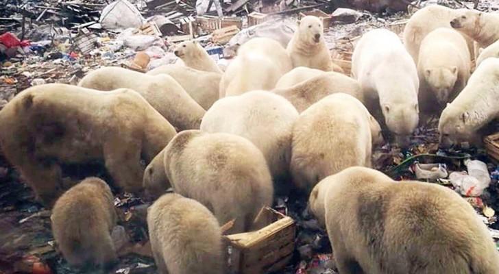 IJsberen vallen steden binnen, wanhopig op zoek naar voedsel: een onhoudbare situatie