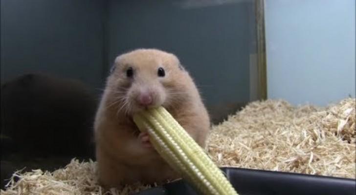 Un hamster qui a faim est un hamster