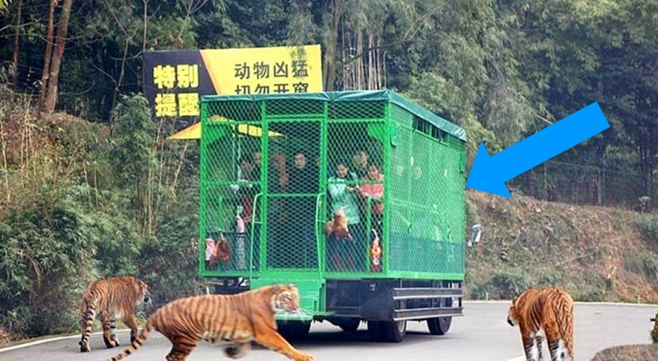 Deze dierentuin in China plaatst bezoekers in kooien terwijl de dieren vrij rond kunnen lopen